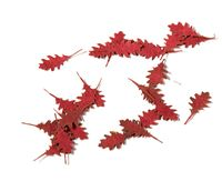Northern Red Oak Autumn - Dry Leaves - Image 1